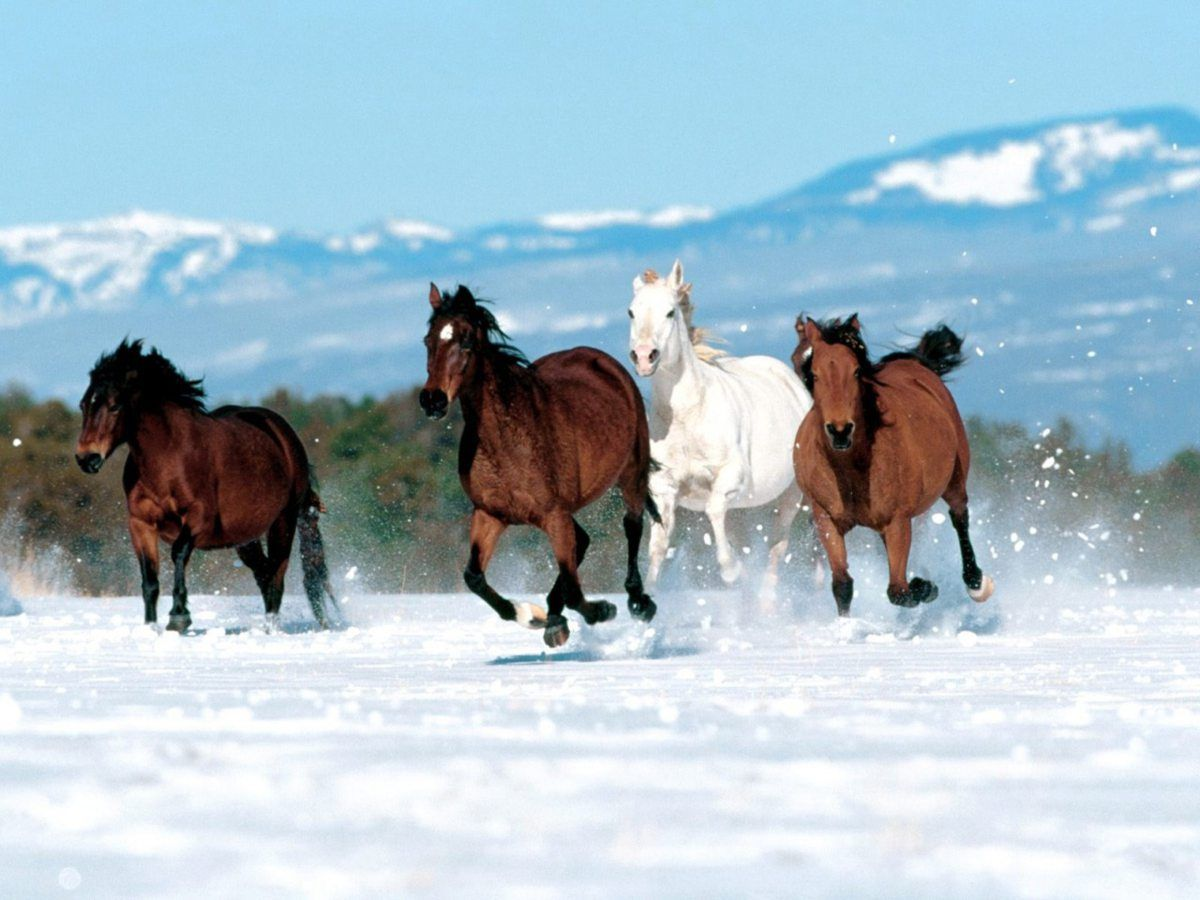 Beautiful Horses Running In Snow Wallpaper Picture