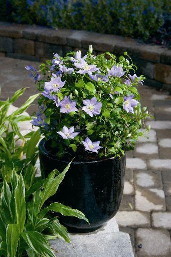 Clematis Care Growing Clematis In Garden Pots And Planters Clematis Care Clematis Garden Pots