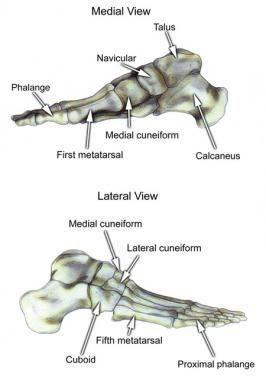 Foot Bone Anatomy Overview Tarsal Bones Gross Anatomy Metatarsal Bones Gross Anatomy Human Anatomy And Physiology Human Body Anatomy Anatomy Images