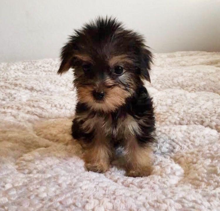 Morkie Puppy For Sale In Los Angeles Ca Adn 47575 On Puppyfinder