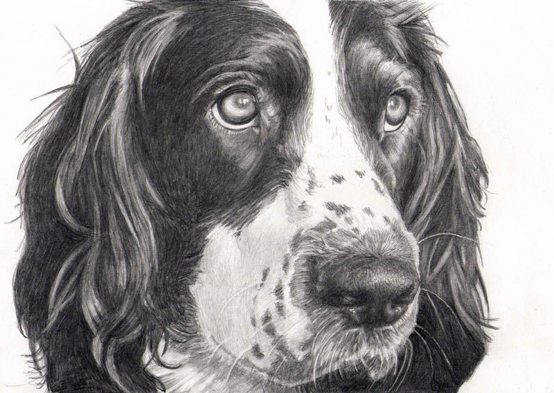 Pencil Drawing Of Springer Spaniel By Sharon Hall Of Faceart
