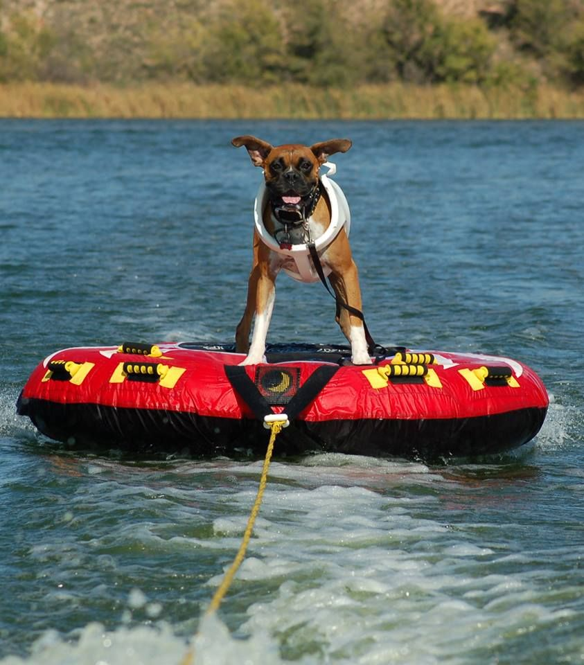 I feel so bad for this boxer! What happens when he falls off?! Boxers can't swim!! I don't care that he's wearing a life-vest. Can you imagine what's going on in his mind? Their heads are as heavy as rocks! It's just going to sink and then he won't breath