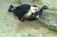 """""""O GRITO DO BICHO"""": Macaco transando com pato. Alguém pode explicar? t..."""