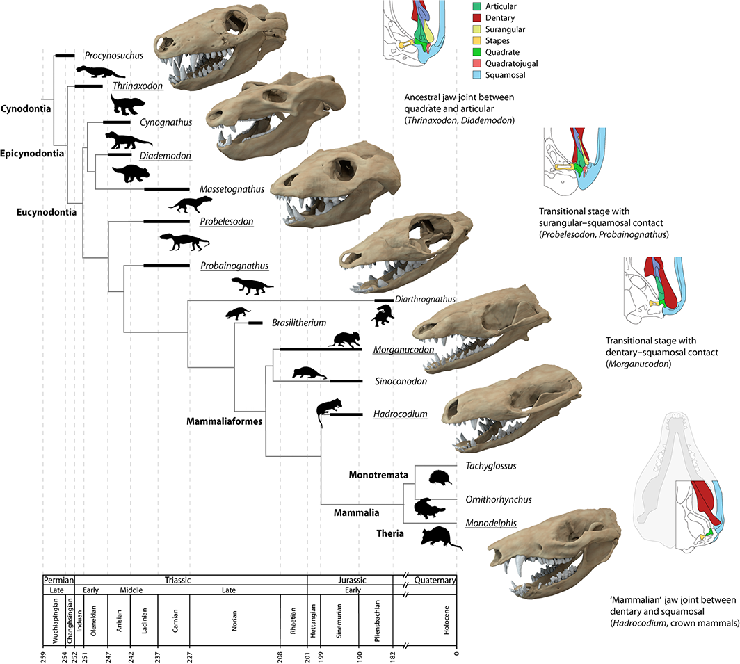 Cynodont Mammaliaform And Mammalian Taxa Stu D And