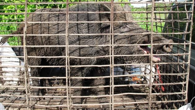 Feral hog epidemic: In this April 30, 2012, photo provided by trapperjohnschmidt.com, a feral hog caught by trapper John Schmidt is caged in...