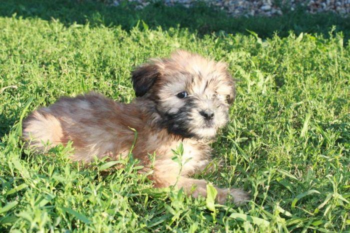 Black Wheaten Terrier  Soft Coated Wheaten Terrier Pups For Sale