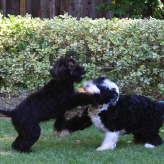 PWD fun & games ~ Portuguese Water Dogs