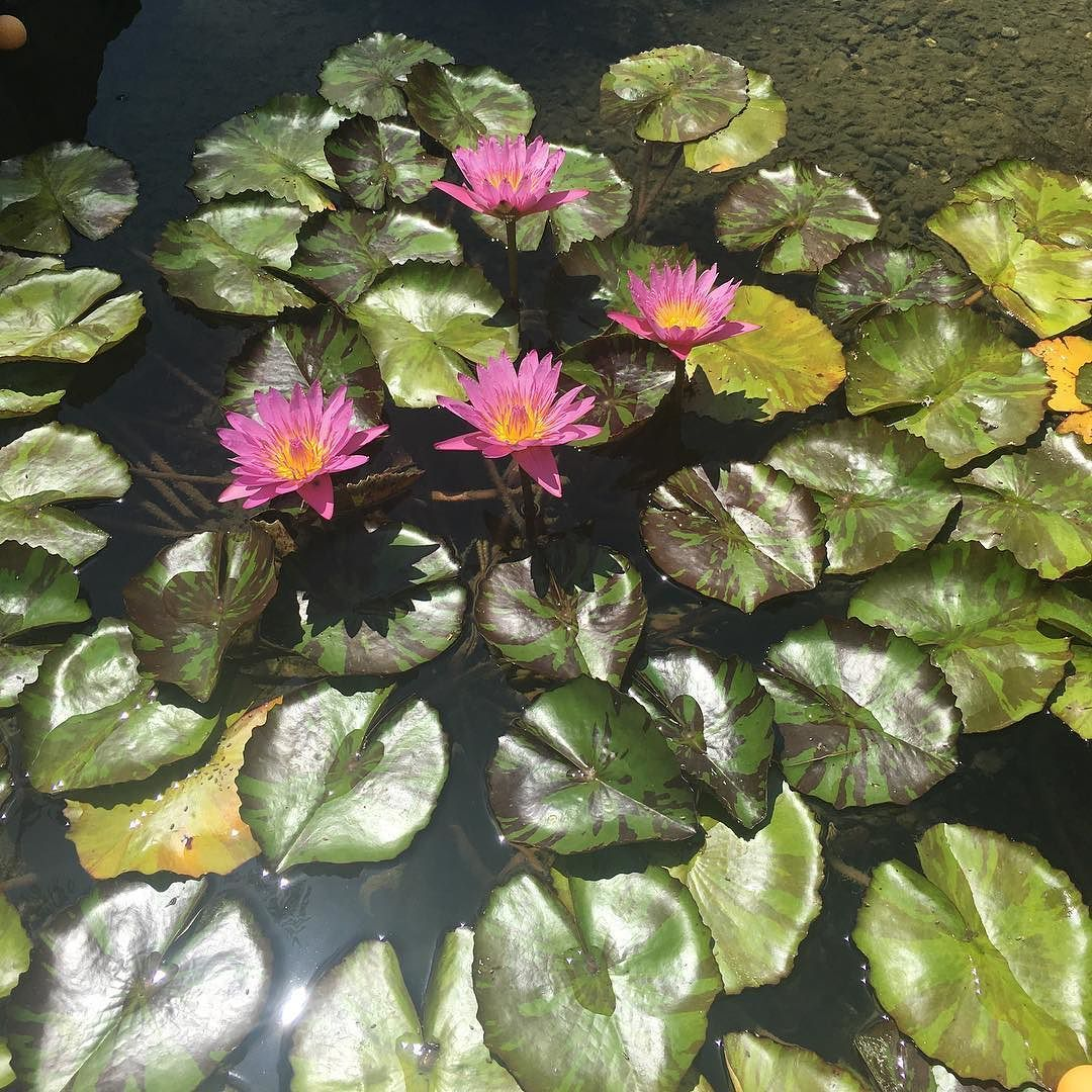 Lily pads  #santabarbara #ladies #lily #brunch #champagne #family #cali