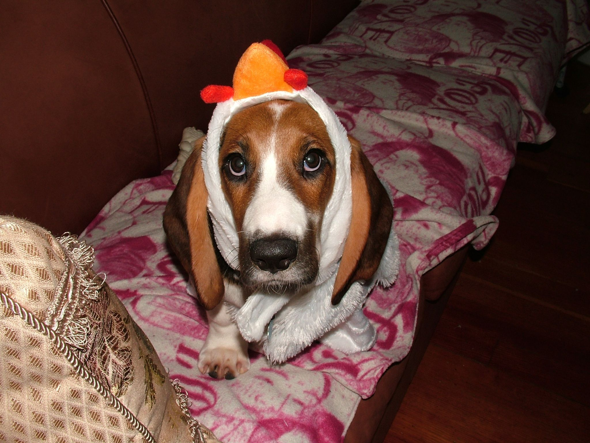 basset hound puppy dressed as a chicken for Halloween