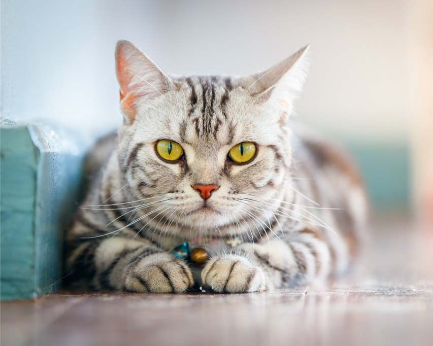 How much does a Bengal cat cost? What you need to know ...