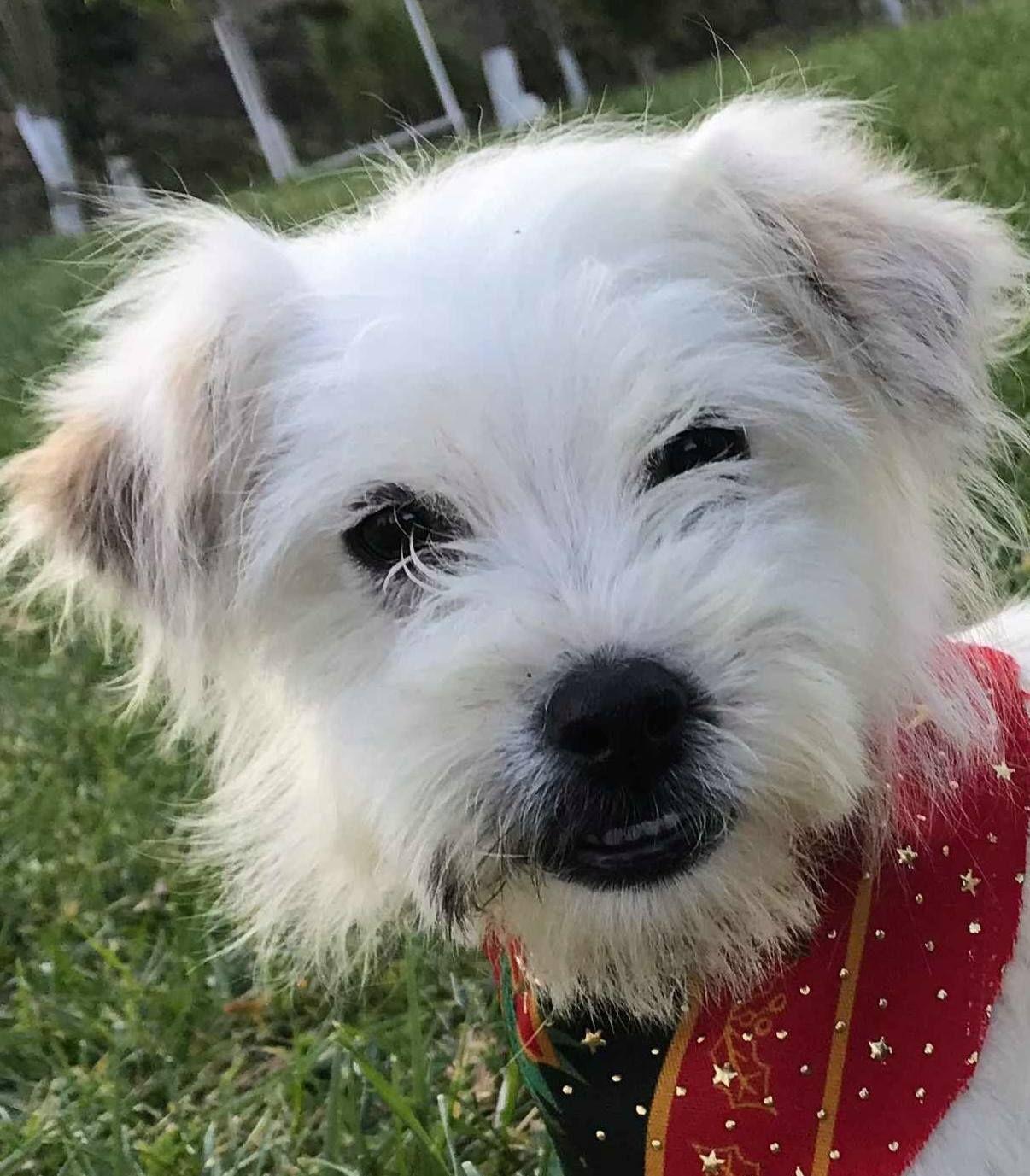 Adopt Bashful Rhonda On Petfinder Silky Terrier West Highland