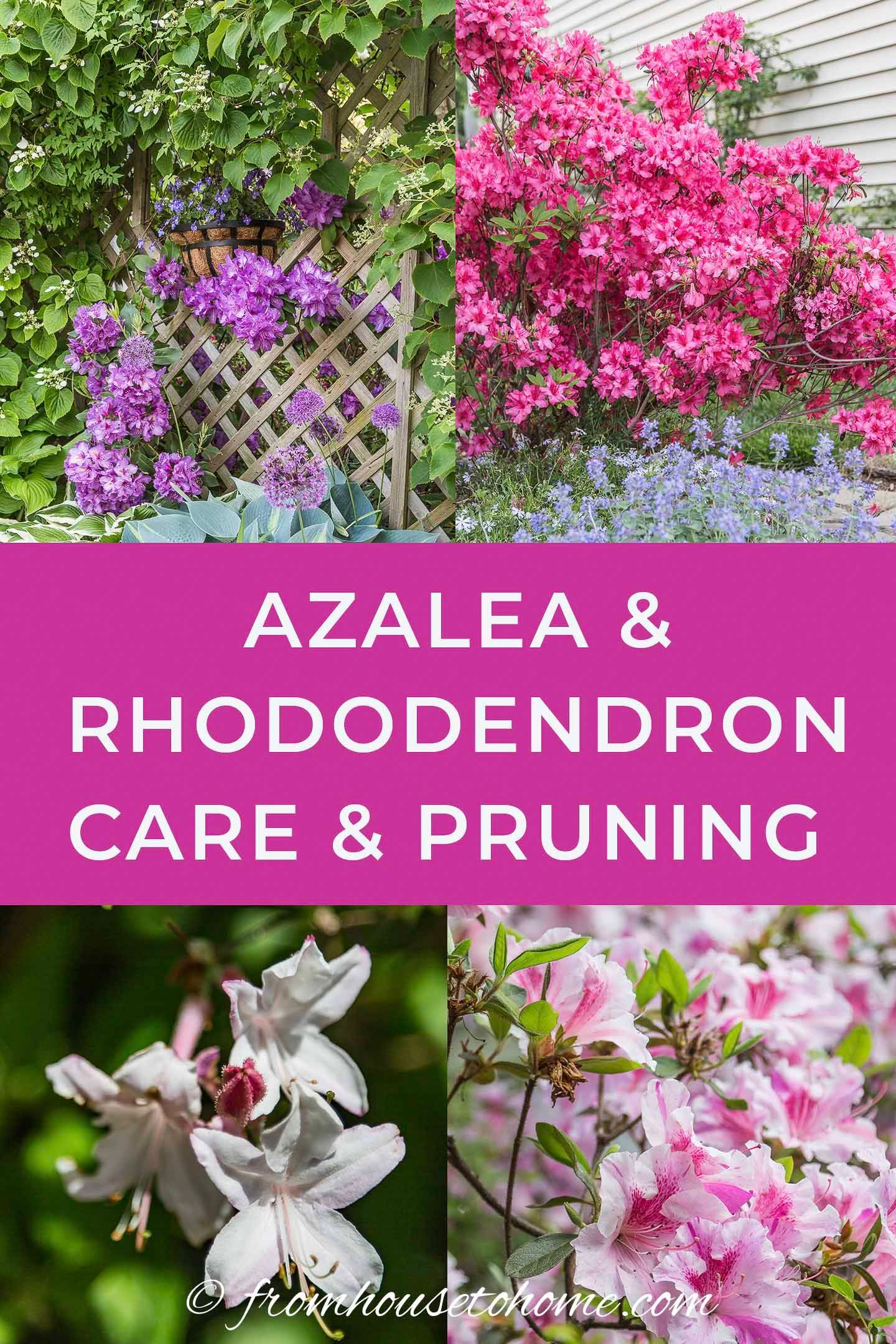 Rhododendron Care How To Grow Beautiful Rhododendrons And Azaleas Gardening From House To Home In 2020 Azaleas Landscaping Azaleas Garden Rhododendron Care