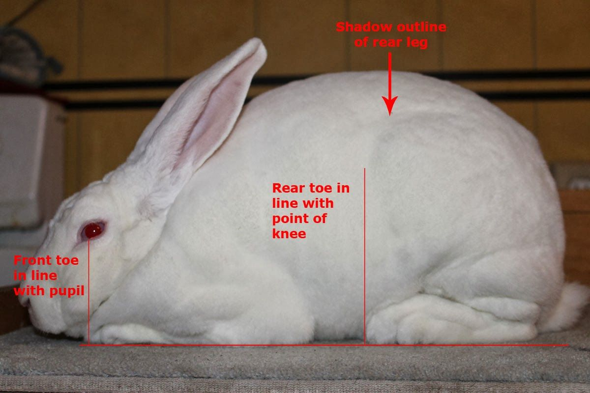Hill Rise Rabbitry: evaluating good body types | Rabbits | Meat