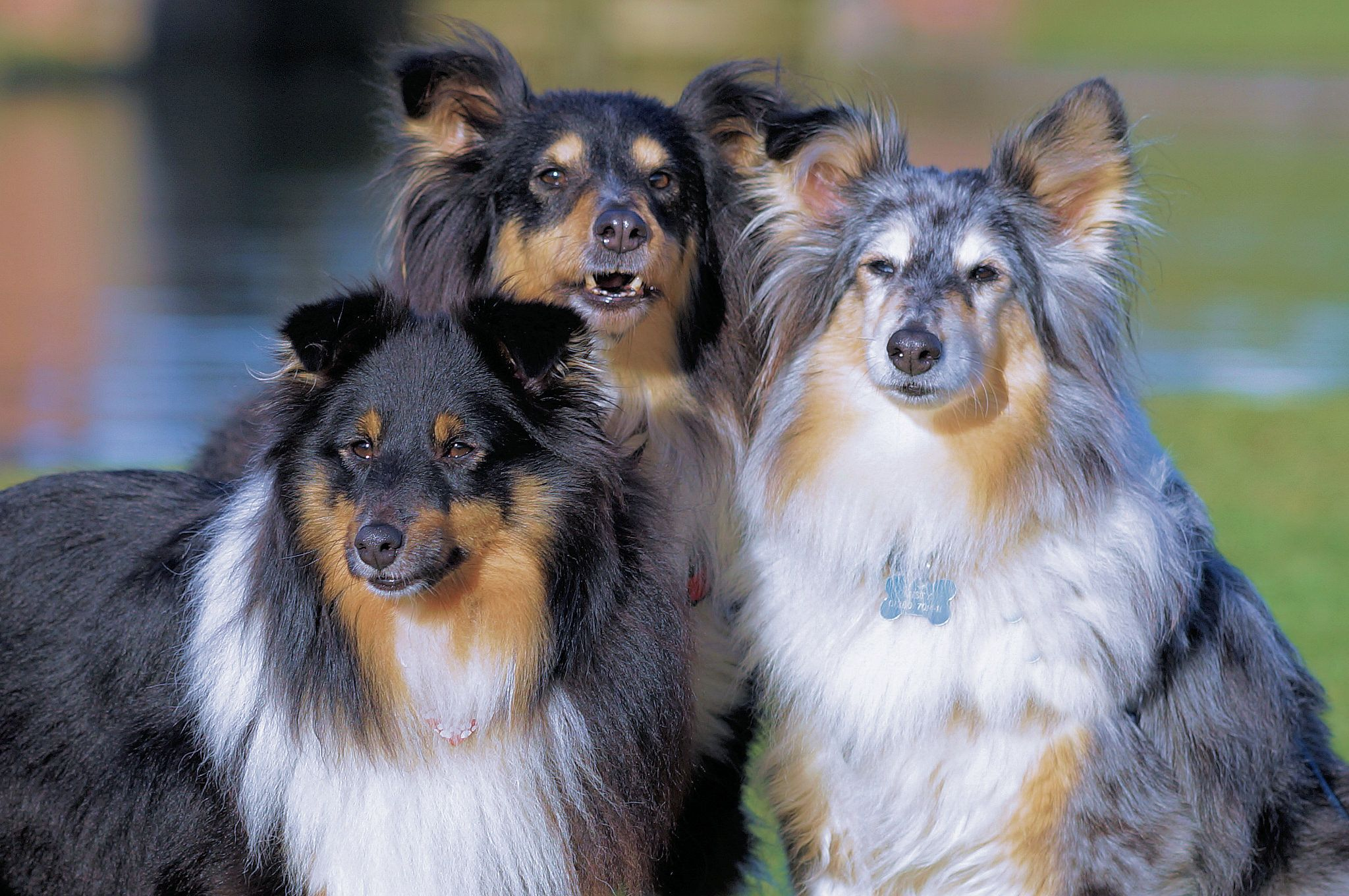 from Sheltie Lovers Sheltie dogs, Sheltie puppy, Sheltie