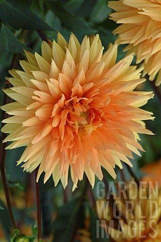 "Dahlia 'Noordwijks Glory' (6-8"" bloom; 3-4' bush): soft bronze orange; decorative."