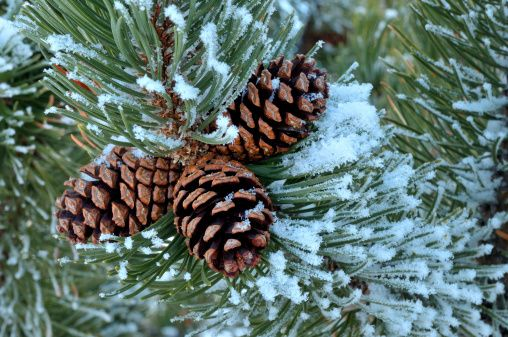 snow on a pine tree branch - Google Search