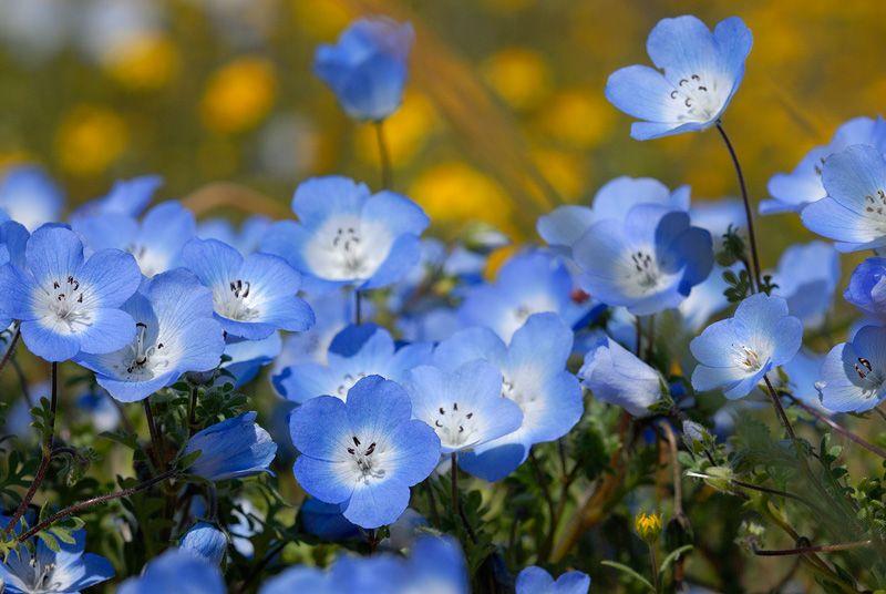 Baby Blue Eyes Wildflowers- mekonops