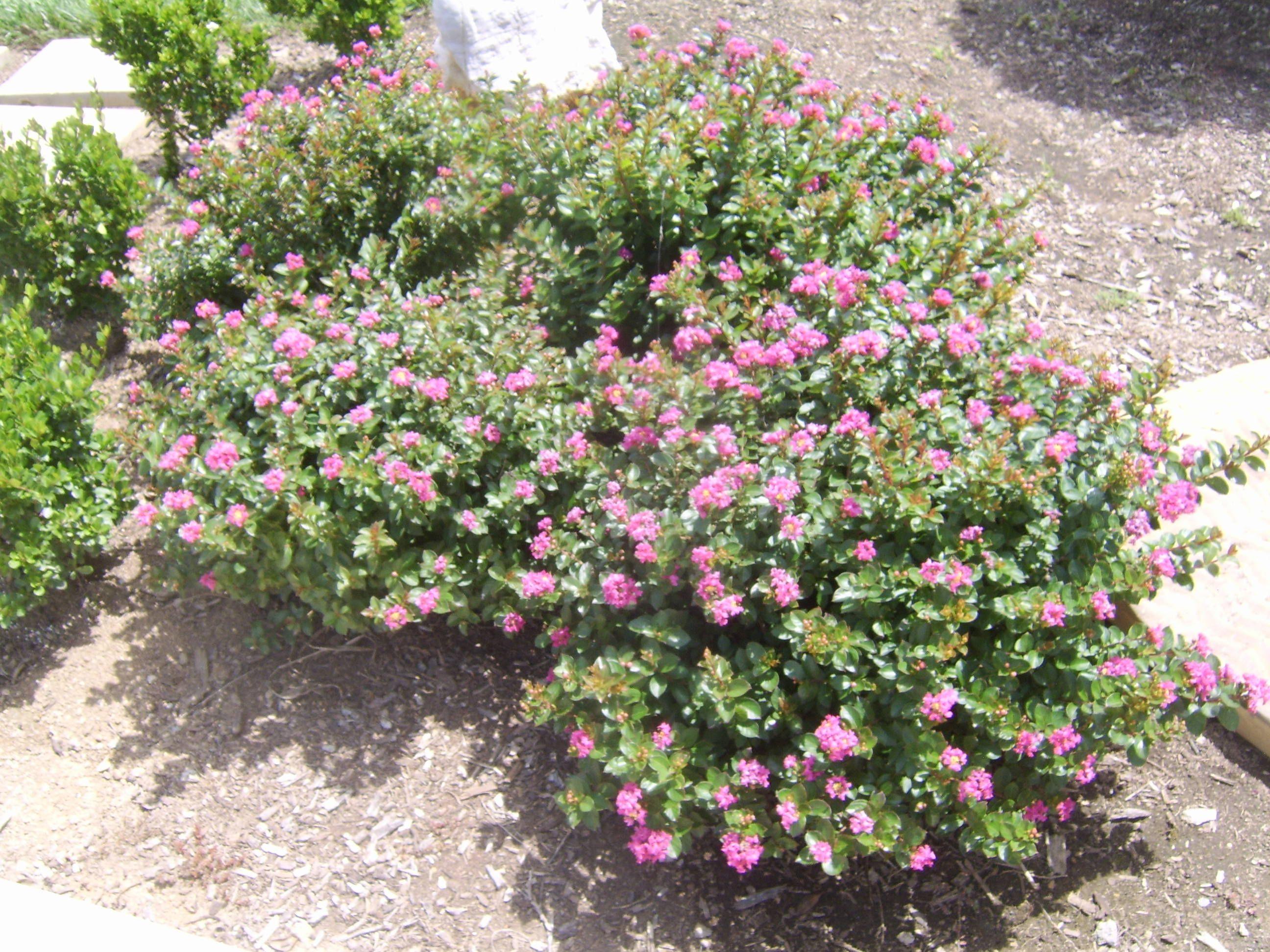 dwarf myrtle | dwarf crape myrtle pink dwarf crape myrtle | Garden\'s ...