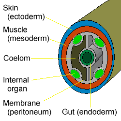coelomate de platyhelminthes