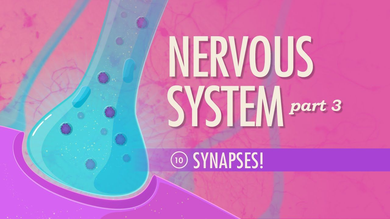 The Nervous System, Part 3 - Synapses!: Crash Course A&P #10 | A&P I ...