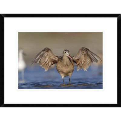 """Global Gallery 'Marbled Godwit Stretching Its Wings, California' Framed Photographic Print Size: 18"""" H x 24"""" W x 1.5"""" D"""