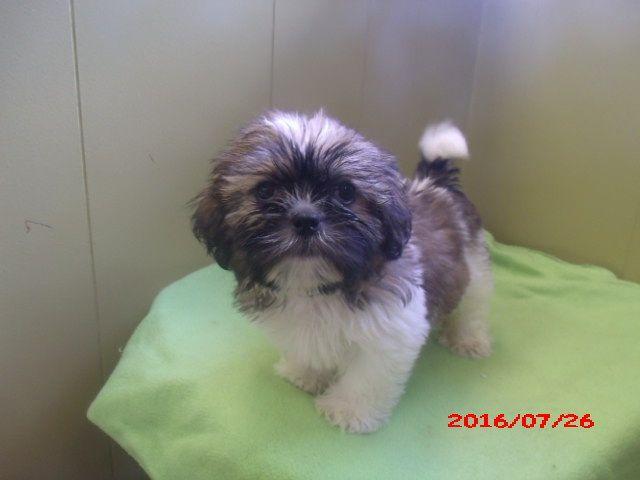 Shih Tzu Puppy For Sale In Paterson Nj Adn 23480 On Puppyfinder Com Gender Male Age 8 Months Old Puppies For Sale Shih Tzu Puppy Puppies