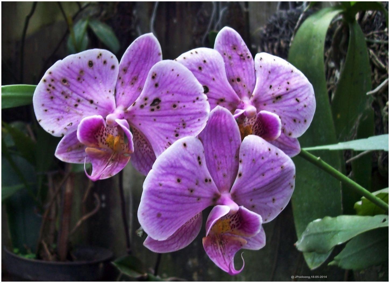 Moon Orchid Anggrek Bulan Phalaenopsis Amabilis Anggrek