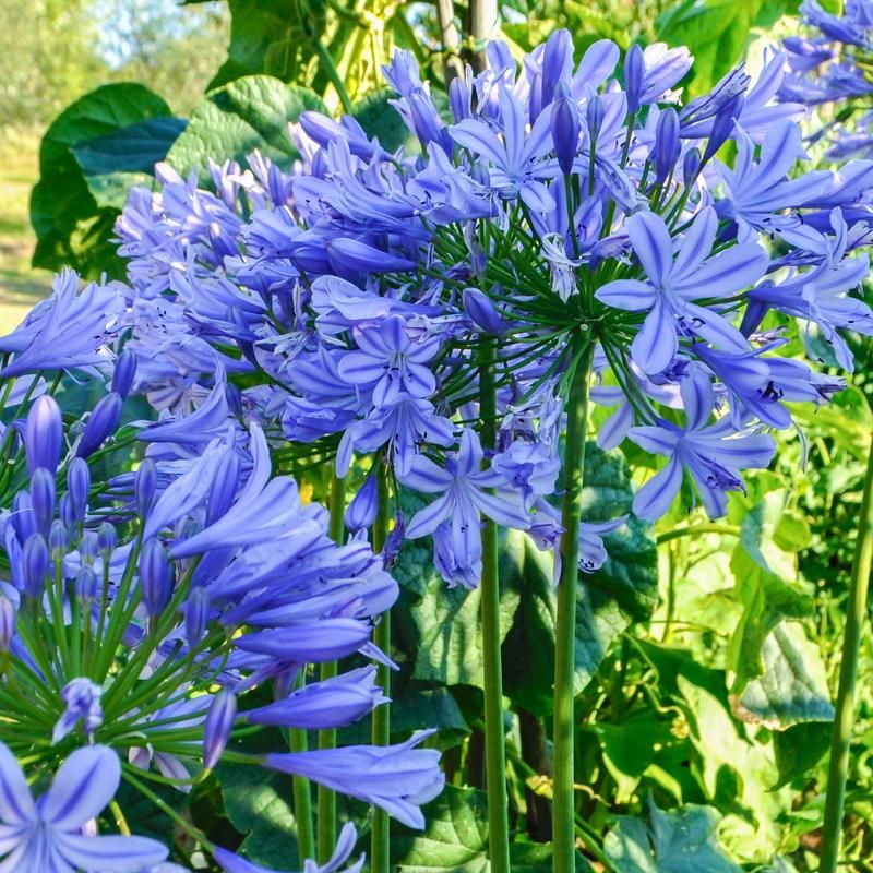 Allium Ampeloprasum Agapanthus Blue Agapanthus Easy To Grow Bulbs