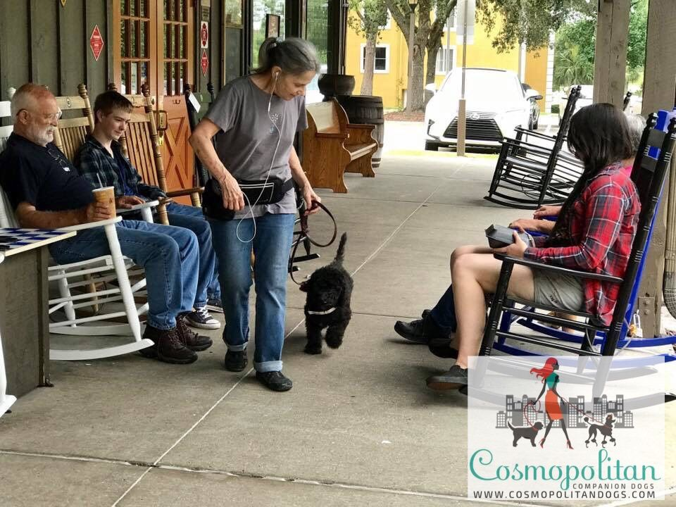 Goldendoodle puppies in training as service dog candidates
