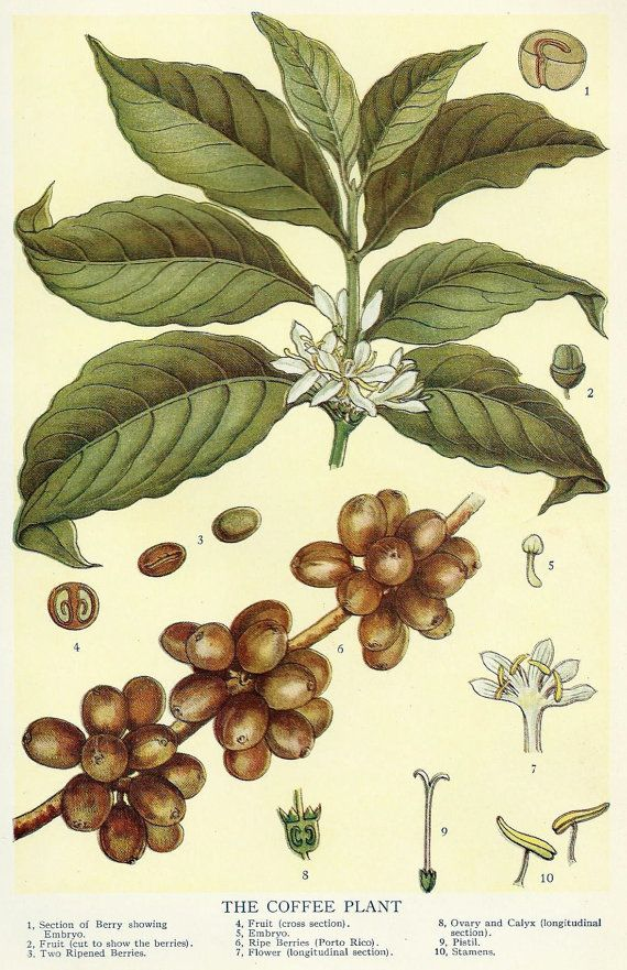 Vintage Coffee Bean Botanical Illustration Art 1910 Antique