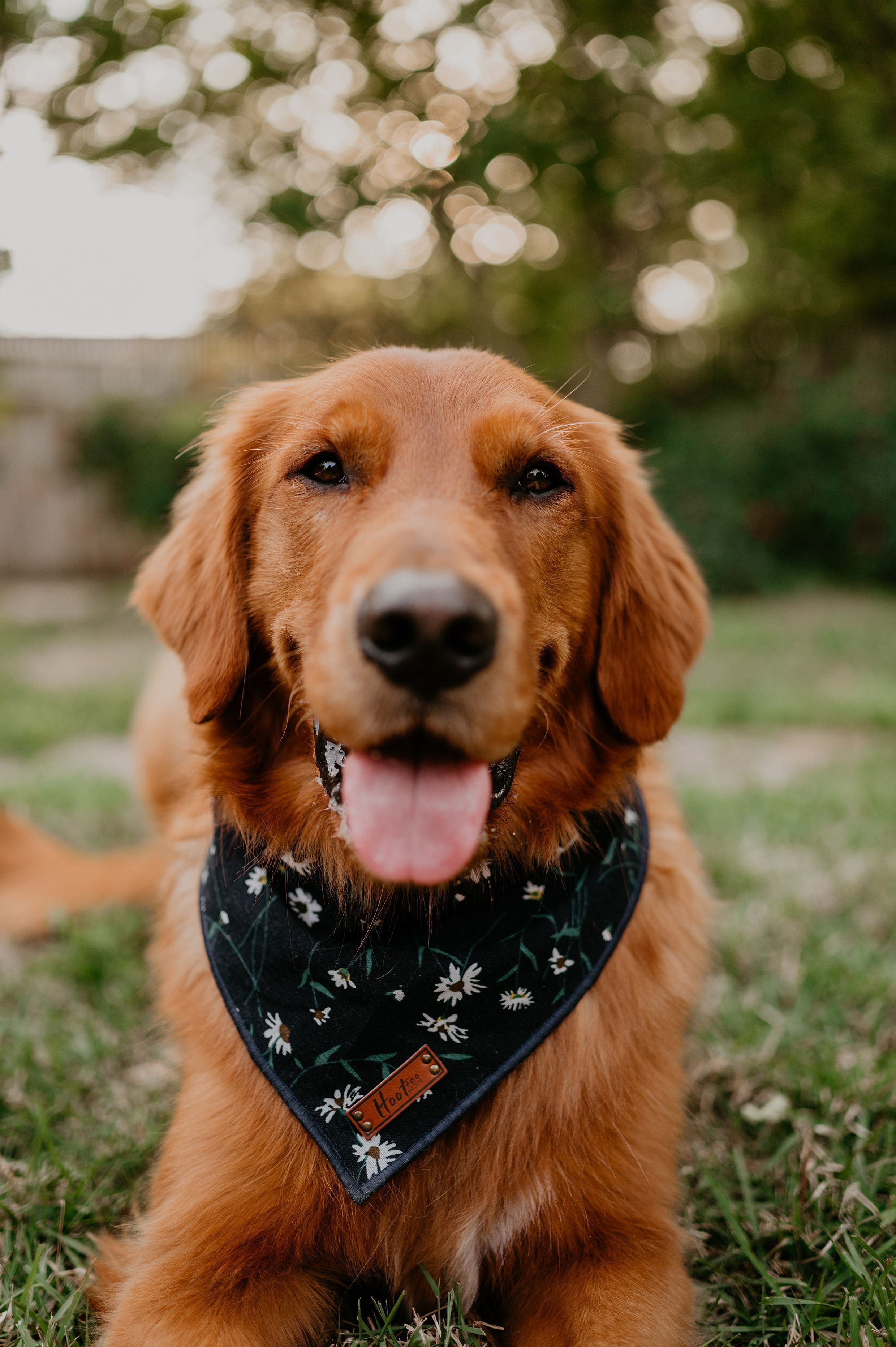 Thegoldenfinn Golden Retriever In 2020 Golden Retriever Adventure Golden Retriever Training Golden Retriever