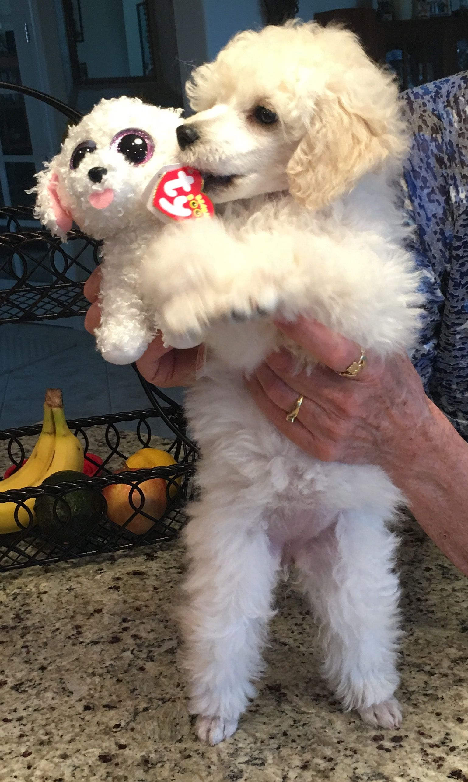 Beautiful Jolie First Days Home 4 11 17 Poodle Puppy Dog Toys