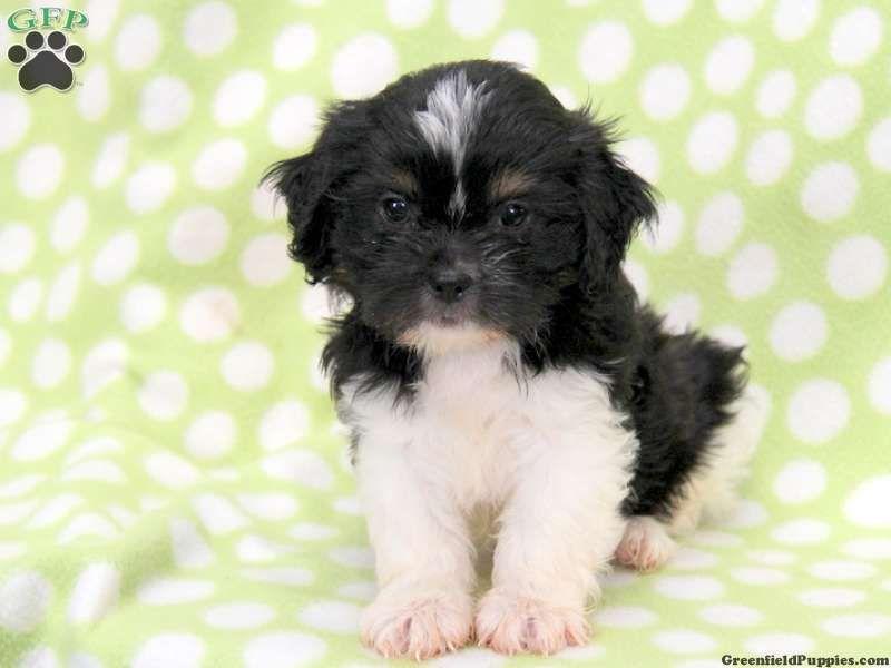 Gina Cava Tzu Puppy For Sale In Pennsylvania Puppies Puppies