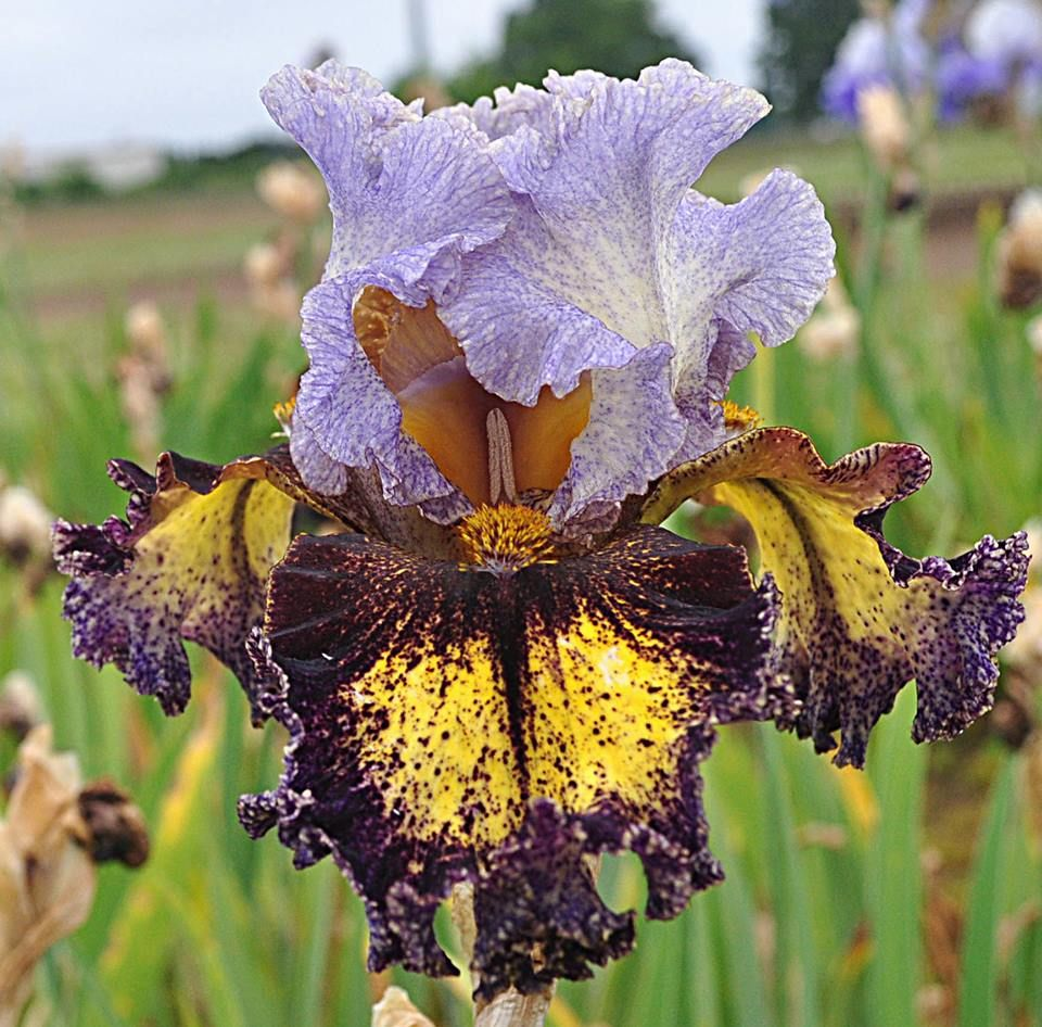 A Blog About The Iris World For All Iris Lovers Bearded Iris