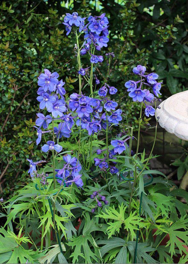 Pin On Gardening Delphinium