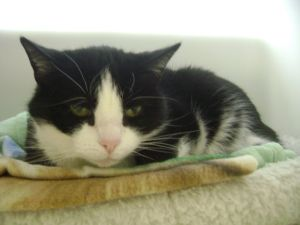 Molly is an adoptable Domestic Short Hair-Black And White Cat in Branford, CT. Molly is a 12 year old Black and white domestic short hair. She is shy but friendly.She came to the shelter when her owne...