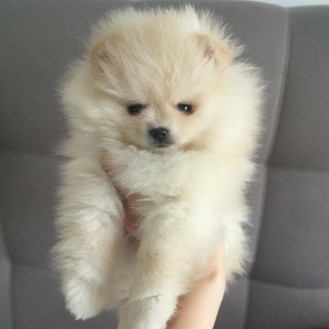 Pomeranian puppies for sale. Get pics and price on (With