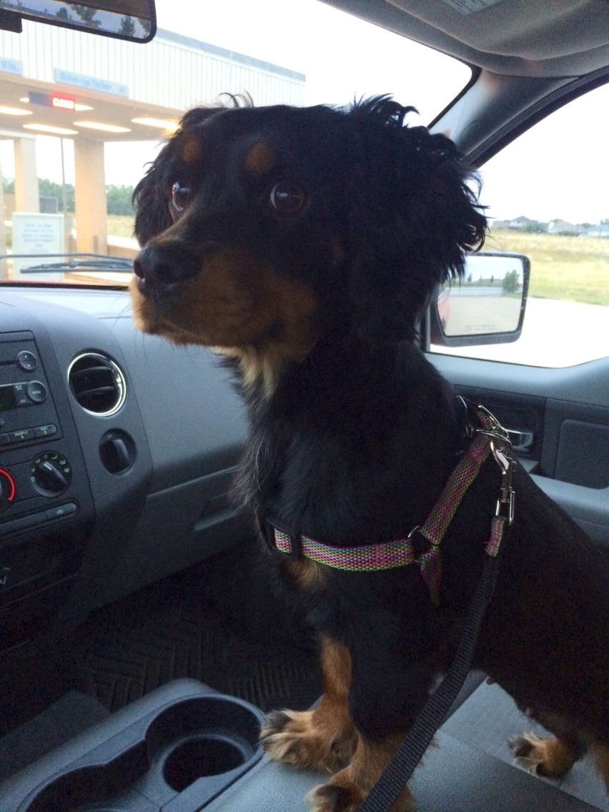 Cocker spaniel dachshund mix, Just to sweet! Mixed breed