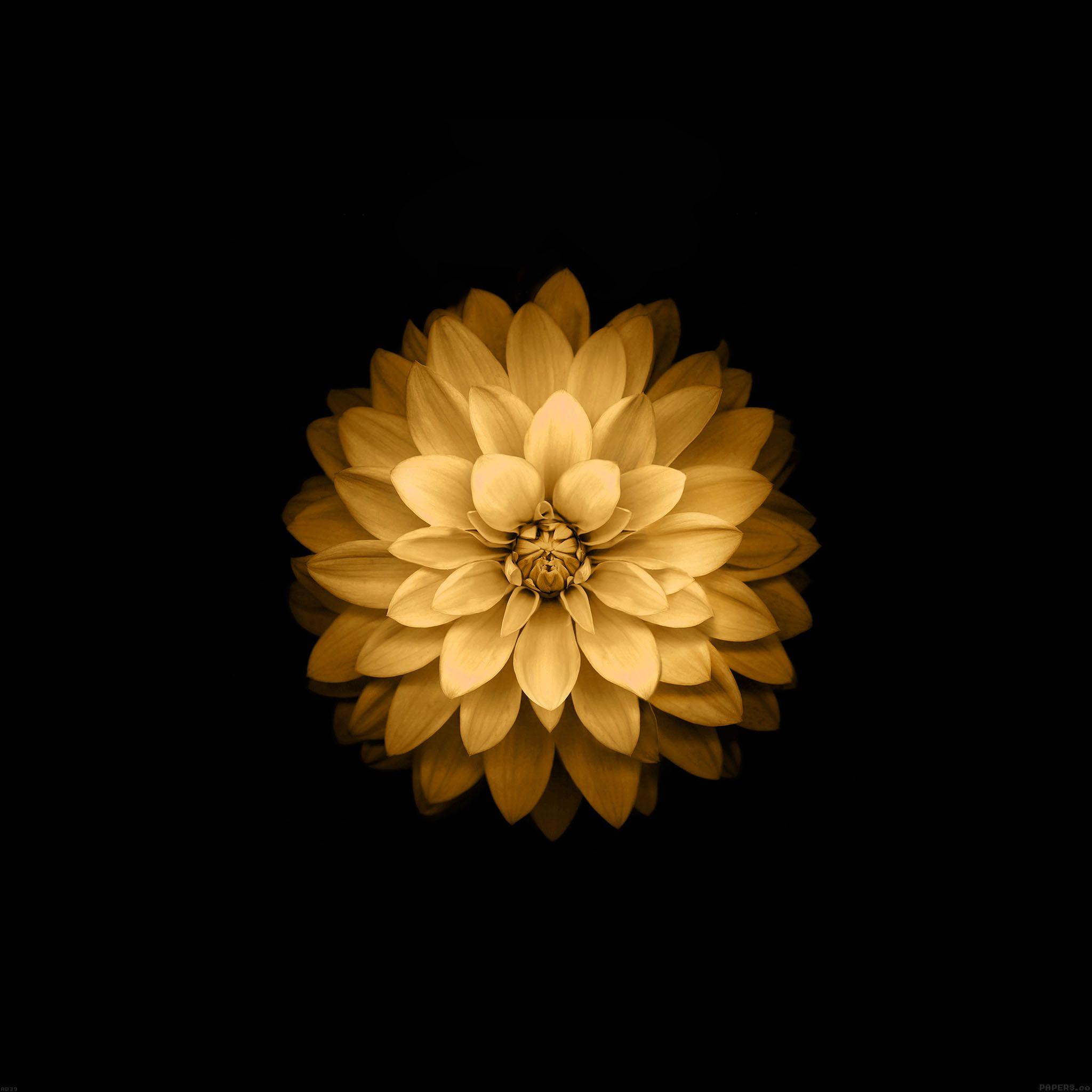 papers.co-ad39-apple-yellow-lotus-iphone6-plus-ios8-flower-8-wallpaper.jpg 2,048×2,048픽셀