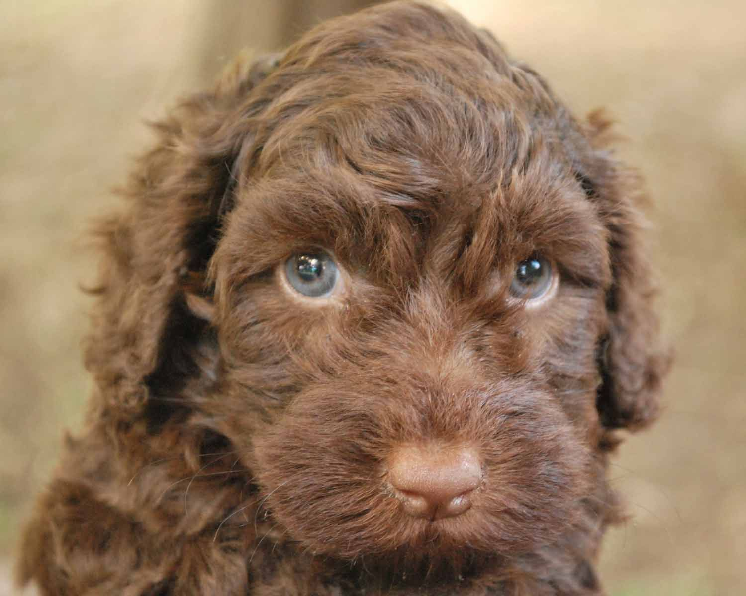 Tahlia S Chocolate Boy Australian Labradoodle Chocolate Labradoodle Puppies With Blue Eyes