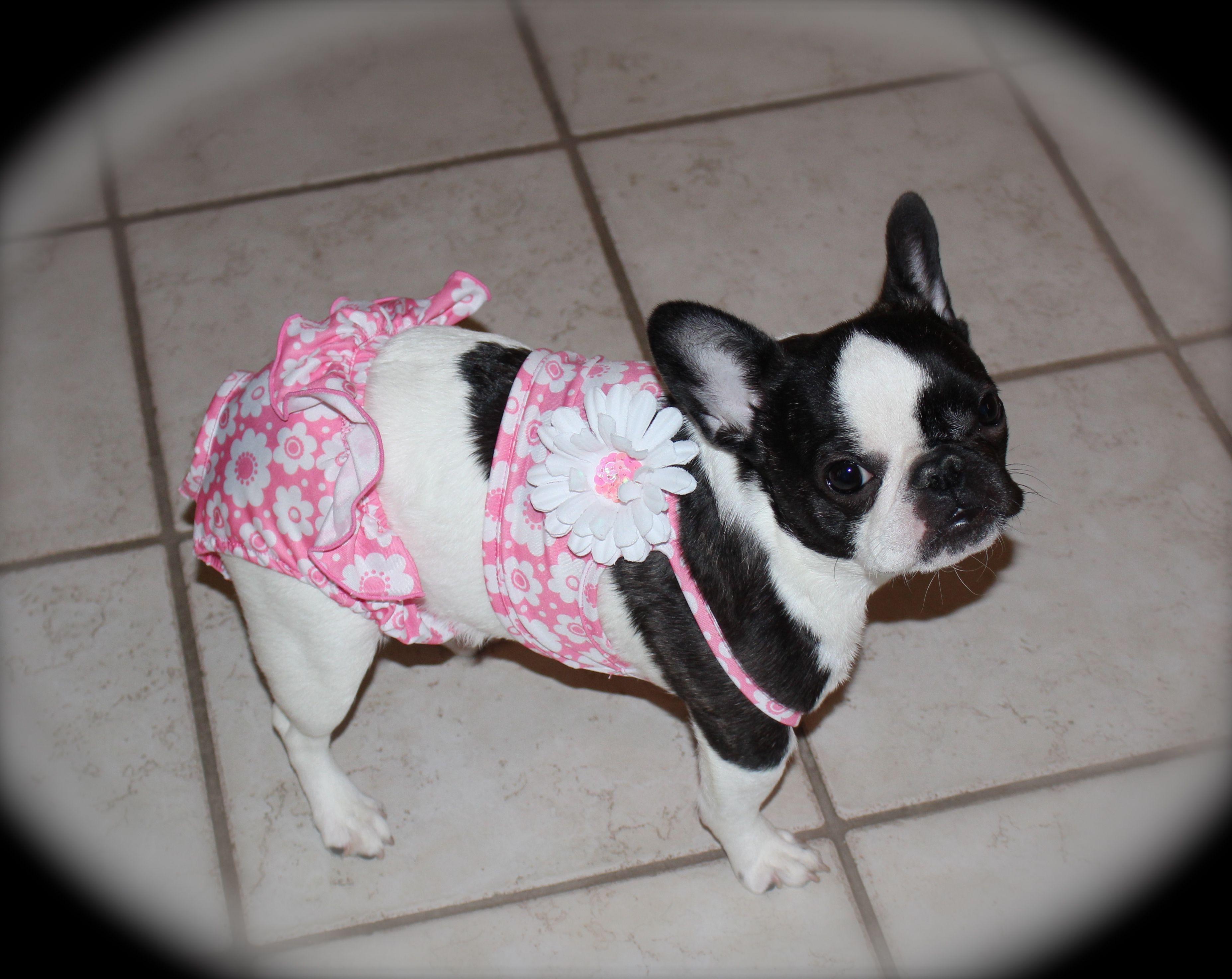 Hope The French Bulldog Puppy In A Bikini Baby Dogs Boston