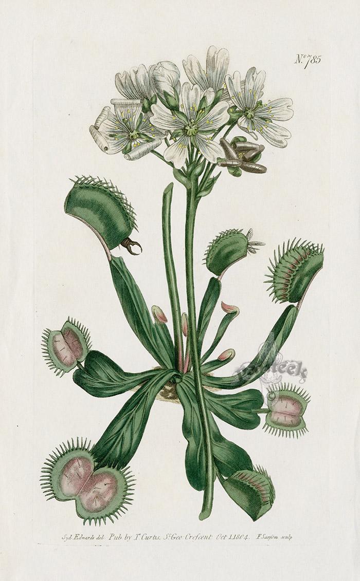 Venus Fly Trap Antique Carnivorous Prints From Walcott Curtis On Panteek Venus Fly Trap Botanical Illustration Plant Illustration