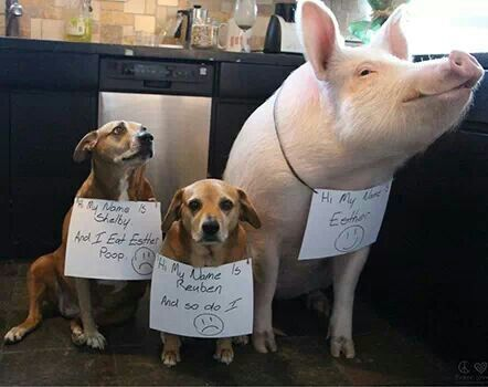 Esther The Wonder Pig Pinned By Priscilla Headley Funny Dog