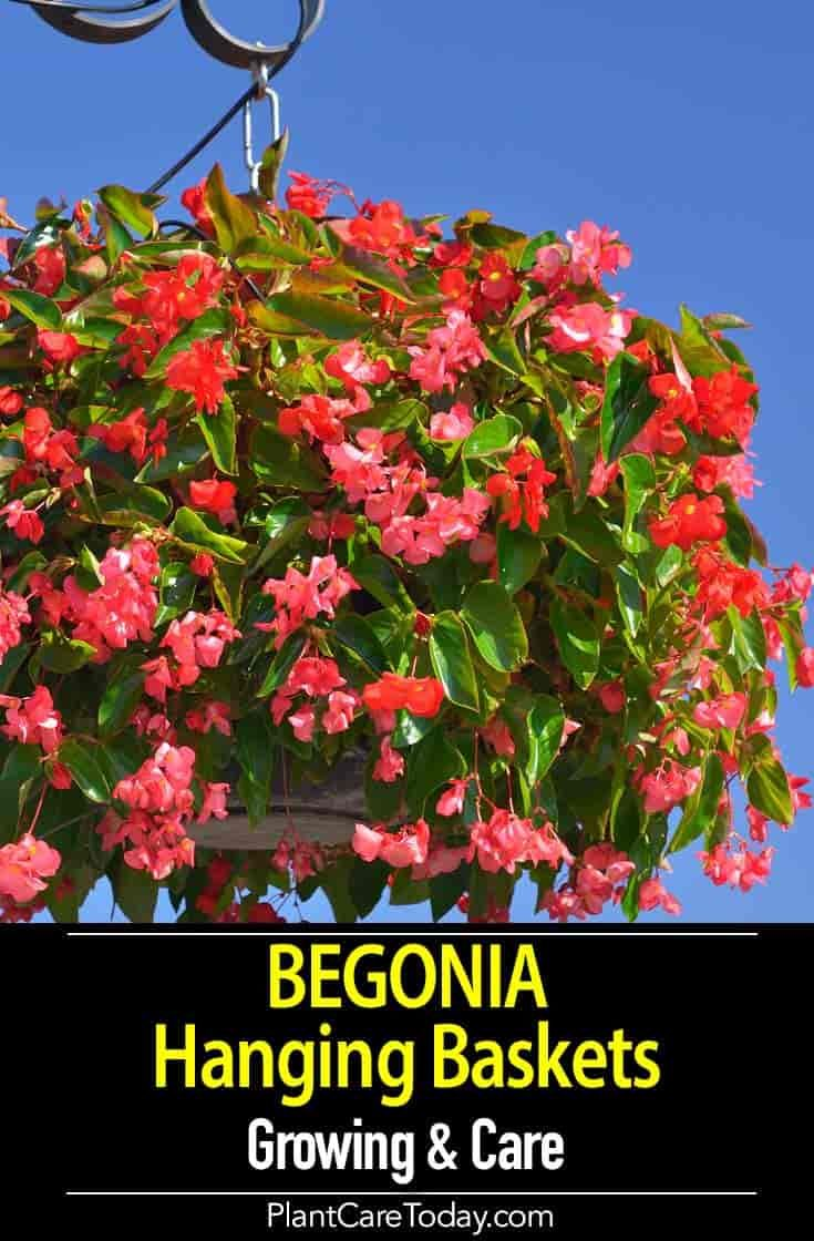 Begonia hanging baskets are great decorative plants for the landscape, patio and deck. They make dazzling displays in hanging baskets. [GROWING DETAILS] #hangingbaskets
