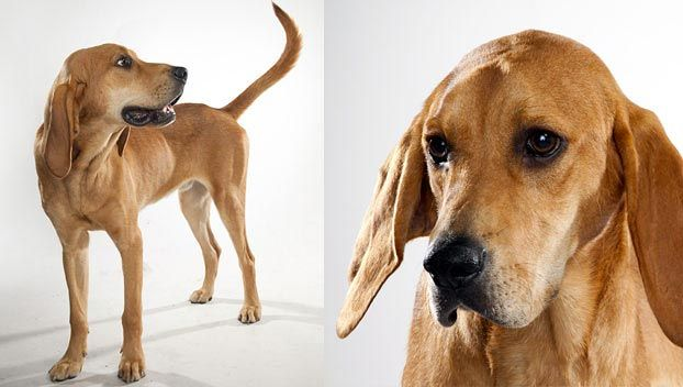 Redbone Coonhound : Dog Breed Selector : Animal Planet