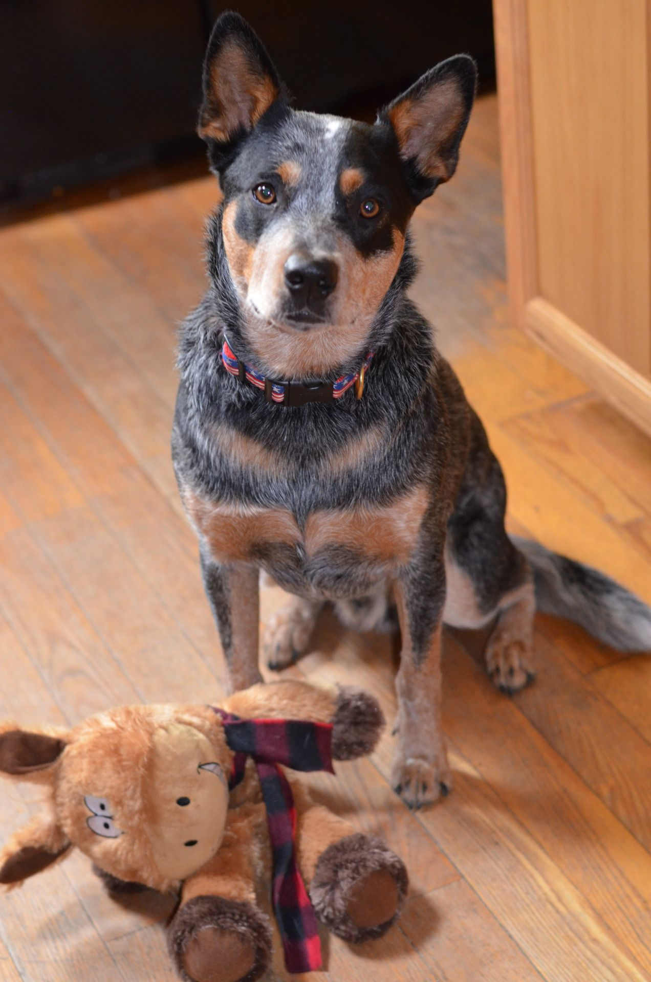 australian cattle dogs cattle dogs pinterest. Black Bedroom Furniture Sets. Home Design Ideas