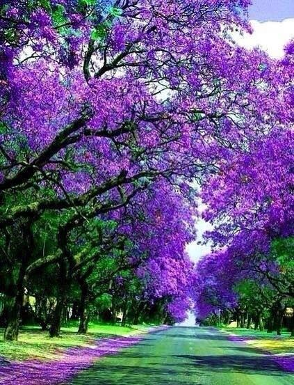 Avenue of Jacaranda trees in Griffith NSW   Autumn and the