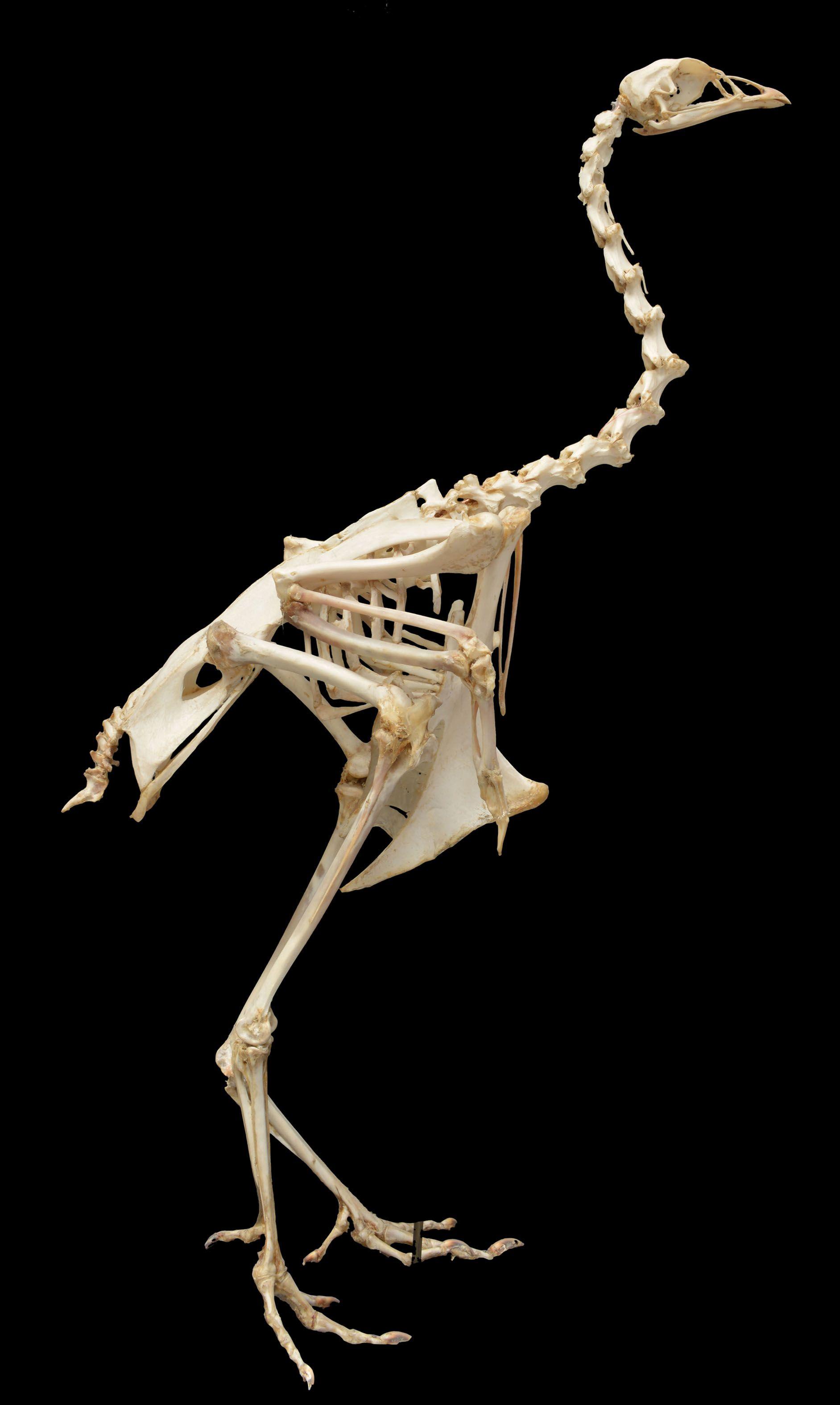 dindon_domestique_MHNN.Z.019641_3.jpg 1,883×3,150 pixels | Anatomy ...