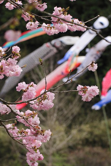 およげ!こいのぼりくん Streamers and sakura