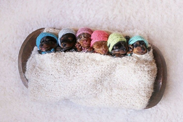 Sausage Dog And Her 6 Mini Sausages Pose For The Cutest Family Photoshoot - Smartly Stuff